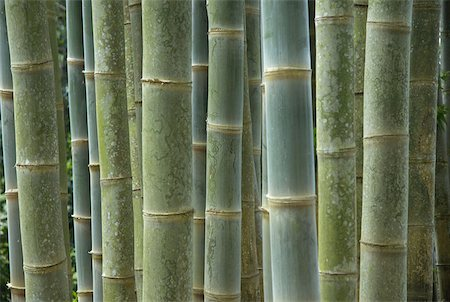 flores - Indonesia, Flores, bamboos Stock Photo - Premium Royalty-Free, Code: 610-01577372