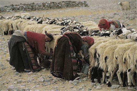 Tibet, Samsang area, goat milking Stock Photo - Premium Royalty-Free, Code: 610-01577626