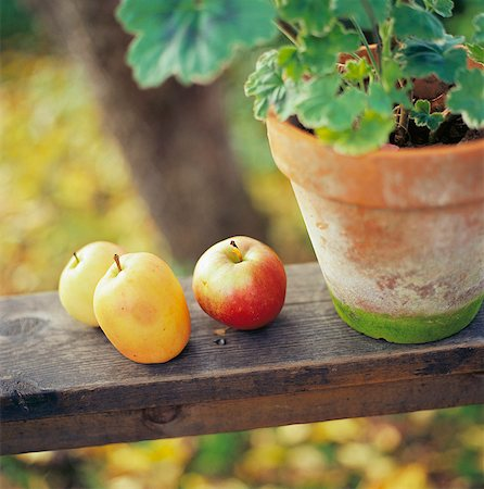 potted plant - Apples by a potted plant. Stock Photo - Premium Royalty-Free, Code: 6102-03748073