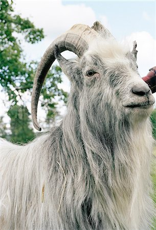 A he-goat. Stock Photo - Premium Royalty-Free, Code: 6102-03749326
