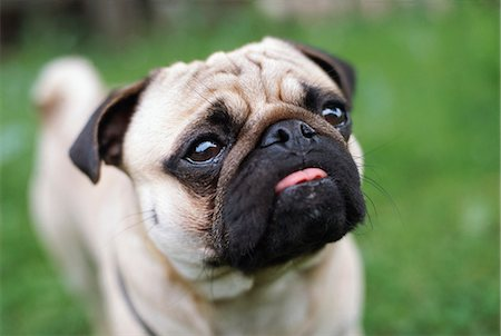 pvg - Close-up of pug dog sticking out tongue Stock Photo - Premium Royalty-Free, Code: 6102-03858900