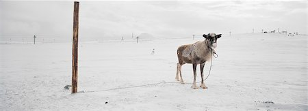 reindeer in snow - Reindeer tied to pole in snow covered landscape Stock Photo - Premium Royalty-Free, Code: 6102-03859183