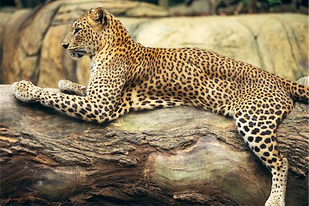 spotted - Leopard lying on tree trunk Stock Photo - Premium Royalty-Free, Code: 6102-03859198