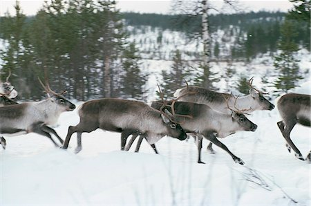 reindeer in snow - Herd of reindeer running in snow covered landscape Stock Photo - Premium Royalty-Free, Code: 6102-03859130