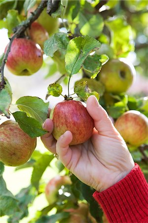 single fruits tree - The hand of a woman picking apples, Sweden. Stock Photo - Premium Royalty-Free, Code: 6102-03867305
