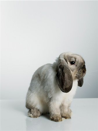 Portrait of a rabbit. Stock Photo - Premium Royalty-Free, Code: 6102-03905590