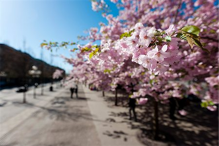 stockholm - Cherry trees in a park Stock Photo - Premium Royalty-Free, Code: 6102-05655549