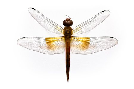 Dragon fly on white background, overhead view Stock Photo - Premium Royalty-Free, Code: 6102-06336503