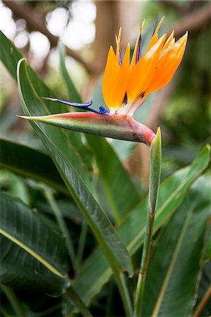 exotic outdoors - Bird of paradise flower Stock Photo - Premium Royalty-Free, Code: 6102-06777641