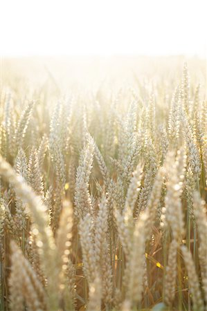 Wheat on field, close-up Stock Photo - Premium Royalty-Free, Code: 6102-06965461