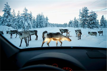 reindeer in snow - Reindeer on winter road seen through car windshield Stock Photo - Premium Royalty-Free, Code: 6102-06965663