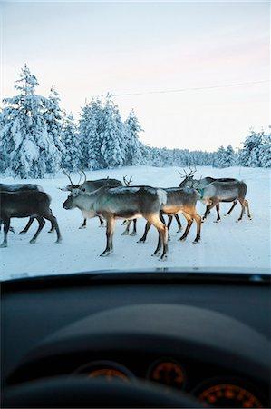 reindeer in snow - Reindeer on winter road seen through car windshield Stock Photo - Premium Royalty-Free, Code: 6102-06965664