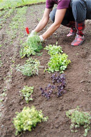 Woman planting herbs Stock Photo - Premium Royalty-Free, Code: 6102-06965735