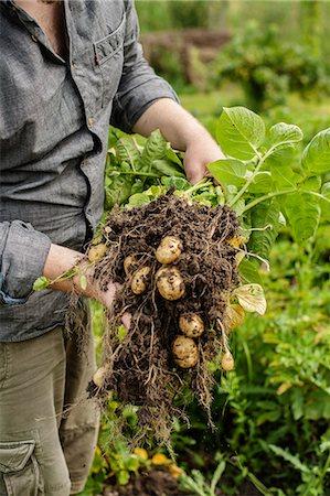 New potatoes, close-up Stock Photo - Premium Royalty-Free, Code: 6102-06965813