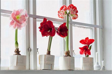 Amaryllis flowers on windowsill Stock Photo - Premium Royalty-Free, Code: 6102-07282668