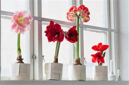decoration - Amaryllis flowers on windowsill Stock Photo - Premium Royalty-Free, Code: 6102-07282668