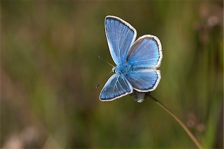 Turquoise blue butterfly, Sweden Stock Photo - Premium Royalty-Free, Code: 6102-07602680