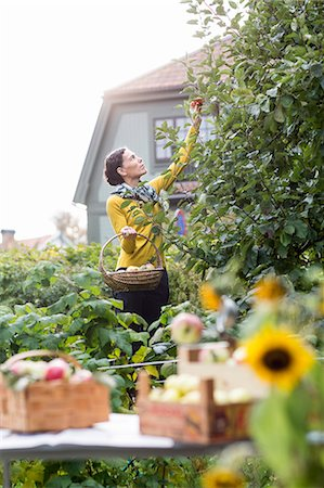 single fruits tree - Woman picking apples in garden, Stockholm, Sweden Stock Photo - Premium Royalty-Free, Code: 6102-07768475