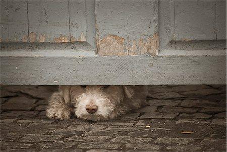 Dog peeking through under door Stock Photo - Premium Royalty-Free, Code: 6102-07769048