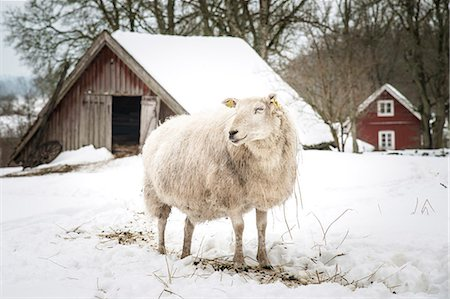 domestic sheep - A sheep on wintery pasture Stock Photo - Premium Royalty-Free, Code: 6102-07769076