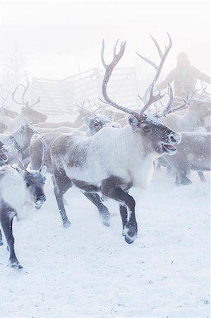 reindeer in snow - Herd of reindeer in snow Stock Photo - Premium Royalty-Free, Code: 6102-07769223