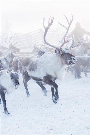 reindeer in snow - Herd of reindeer in snow Stock Photo - Premium Royalty-Free, Code: 6102-07769223