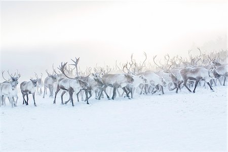 reindeer in snow - Herd of reindeer in snow Stock Photo - Premium Royalty-Free, Code: 6102-07769224