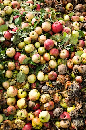photograph - Rotten apples on compost pile Stock Photo - Premium Royalty-Free, Code: 6102-07842929