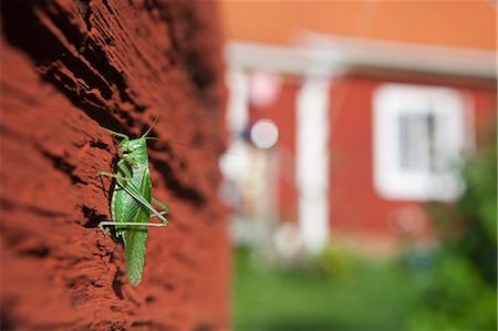 Grasshopper on wooden wall, close-up Stock Photo - Premium Royalty-Free, Code: 6102-07843956