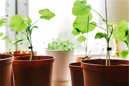 potted plant - Seedlings in pots Stock Photo - Premium Royalty-Free, Code: 6102-07844077