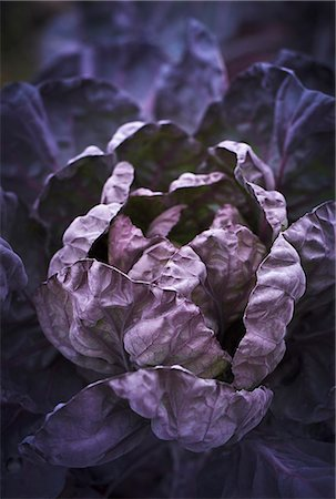 purple - Purple cabbage Stock Photo - Premium Royalty-Free, Code: 6102-08000795