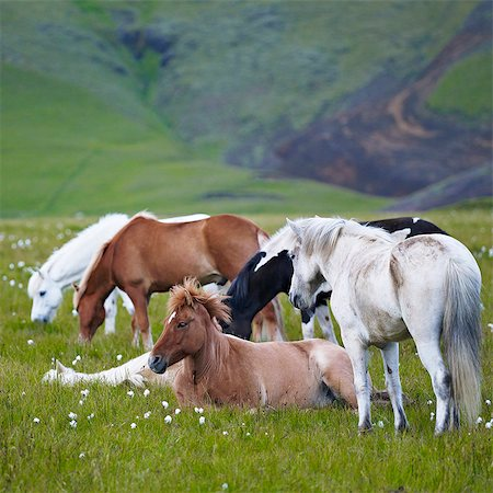 Horses on meadow Stock Photo - Premium Royalty-Free, Code: 6102-08184154