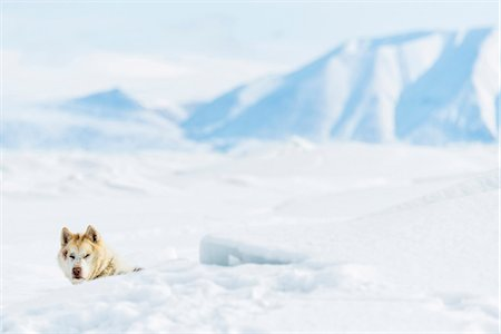 Dog in snowy landscape Stock Photo - Premium Royalty-Free, Code: 6102-08120956