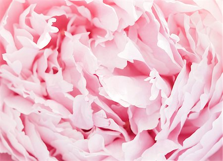 peony backgrounds - Pink peony Stock Photo - Premium Royalty-Free, Code: 6102-08270878