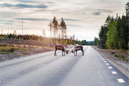 Reindeer on road Stock Photo - Premium Royalty-Free, Code: 6102-08384483