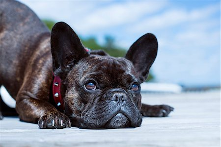 french (places and things) - Close-up view of dog Stock Photo - Premium Royalty-Free, Code: 6102-08481505