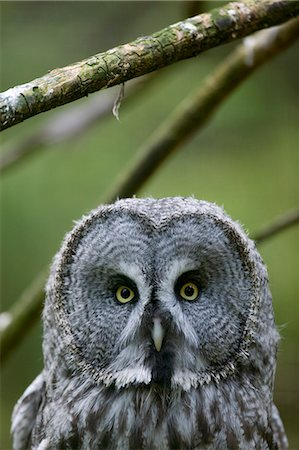 Great grey owl Stock Photo - Premium Royalty-Free, Code: 6102-08748811