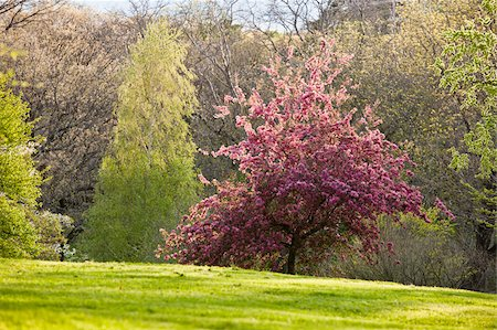 Cherry Blossoms in Arnold Arboretum, Jamaica Plain, Boston, Massachusetts, USA Stock Photo - Premium Royalty-Free, Code: 6105-05397254