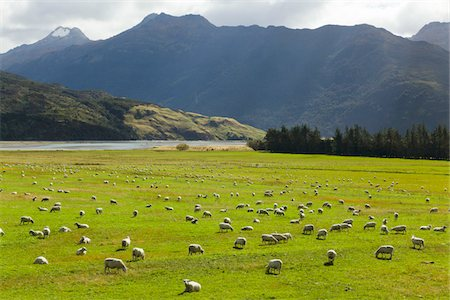 pasture with sheep grazing,  New Zealand Stock Photo - Premium Royalty-Free, Code: 6106-05393741