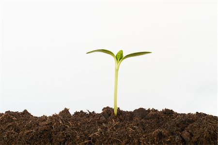 dirt - Seedling growing in soil Stock Photo - Premium Royalty-Free, Code: 6106-05393794