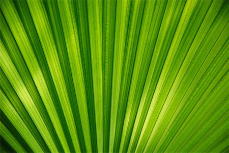 palm - Everglades Palm (Acoelorrhaphe wrightii) leaf Stock Photo - Premium Royalty-Free, Code: 6106-05393914