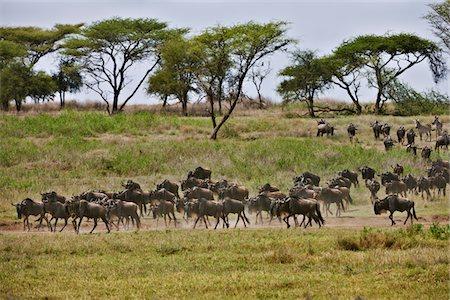 serengeti national park - Blue Wildebeest, Connochaetes taurinus Stock Photo - Premium Royalty-Free, Code: 6106-05394013