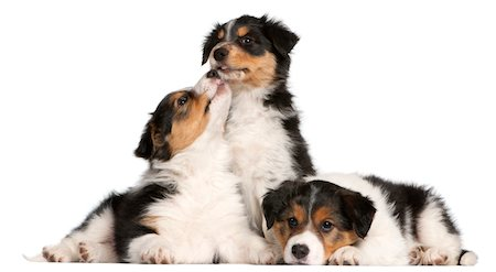 dog lick - Border collie puppies Stock Photo - Premium Royalty-Free, Code: 6106-05394274