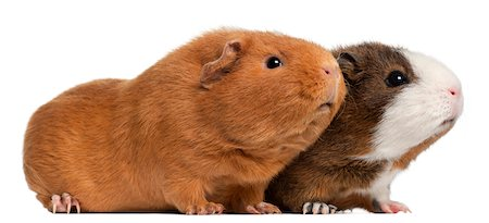 Two guinea pigs (9 months old) Stock Photo - Premium Royalty-Free, Code: 6106-05394510