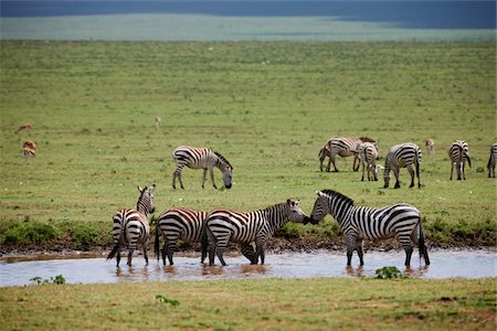 serengeti national park - Plains Zebra, Equus quagga Stock Photo - Premium Royalty-Free, Code: 6106-05395211