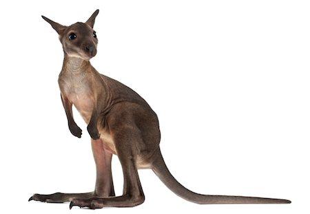 Wallaby - Macropus robustus (3 months old) Stock Photo - Premium Royalty-Free, Code: 6106-05395356
