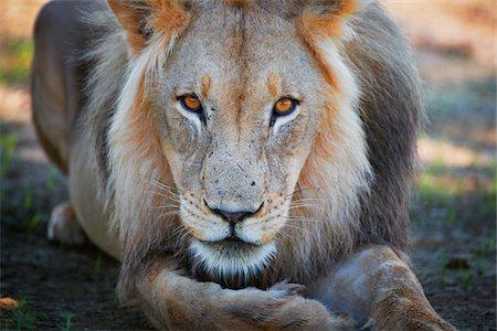 lion Stock Photo - Premium Royalty-Free, Code: 6106-05395725