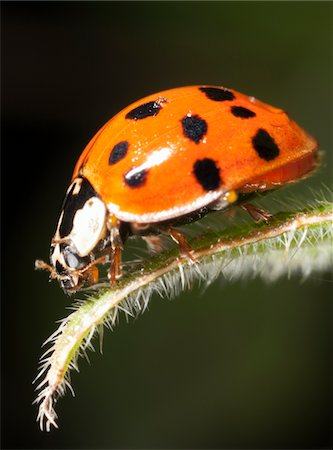 spotted - Ladybird on leaf Stock Photo - Premium Royalty-Free, Code: 6106-05395831
