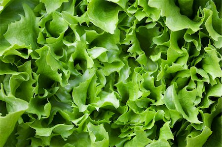 Lettuce Stock Photo - Premium Royalty-Free, Code: 6106-05445066