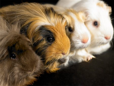 Four guinea pigs sitting in a line, close-up Stock Photo - Premium Royalty-Free, Code: 6106-05454460